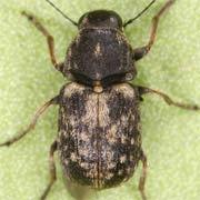Rhaphitropis oxyacanthae