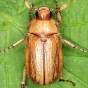 Rhizotragus marginipes