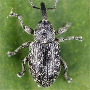 Smicronyx nebulosus
