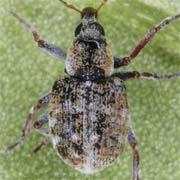 Stenopelmus rufinasus