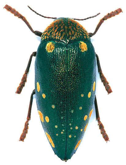 Sternocera bourcardi