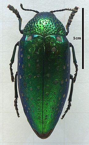 Sternocera