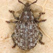 Trachyphloeus angustisetulus