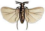 Triozocera mexicana