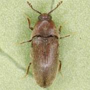 Trixagus dermestoides